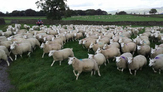 Fat Lambs Straight Off Grass Sold Early Aug