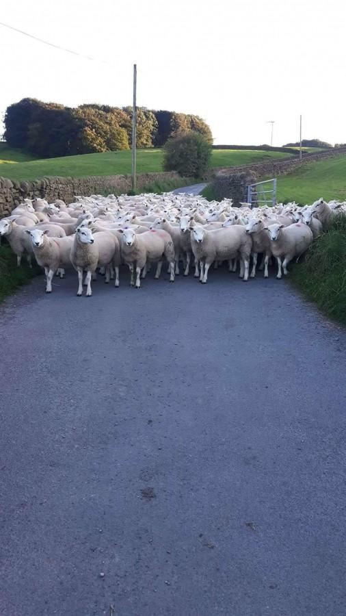 200 Fat Lambs Sold Straight Off Grass 30/8/17 April Born