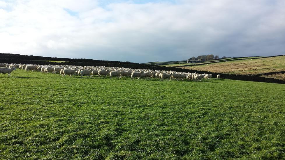 Flock Ewes