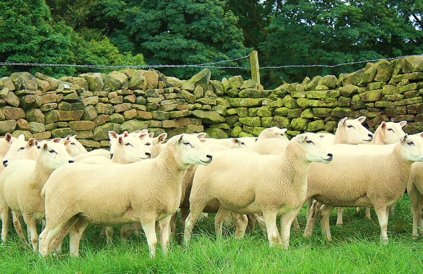 Shearling Ewes