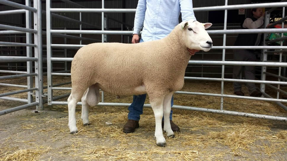 Clansman Purchased For 8000gns