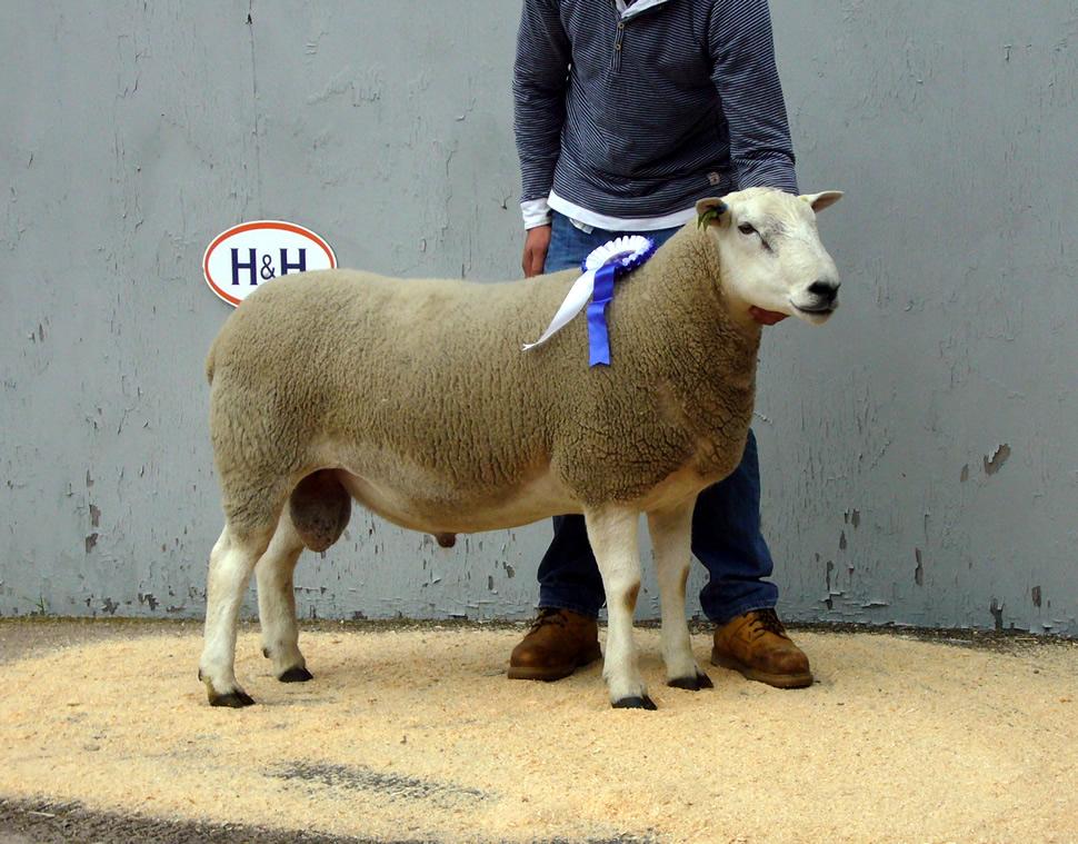 Homebred Carlisle Reserve Champion – Carl