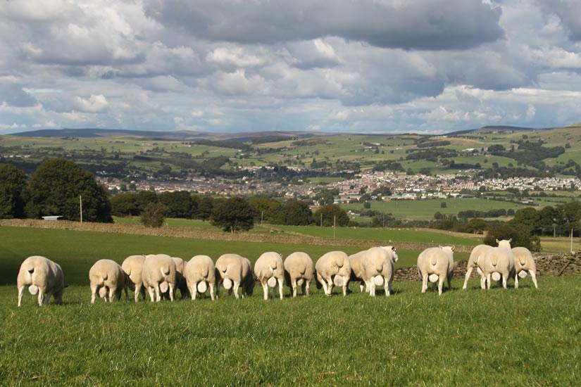 Shearling Rams