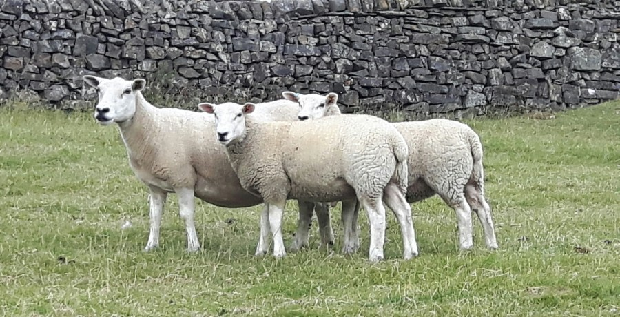 July 2018 2 Gimmer Lambs With Dam